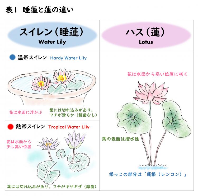 図1 睡蓮と蓮の違い
